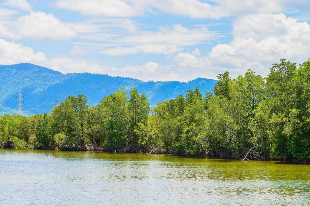 mangrove tree online