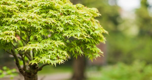 Top 7 fast growing tree in India-myflowertree
