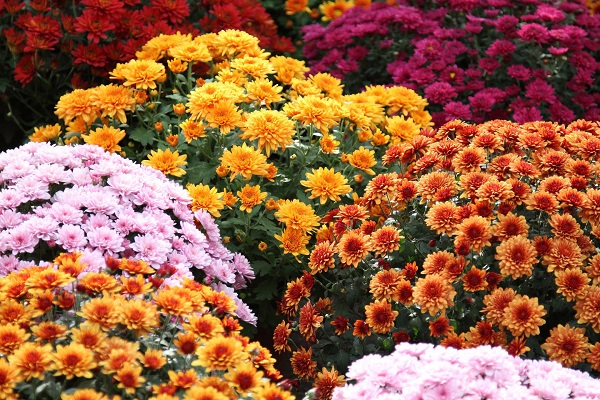 Chrysanthemums flowers to India