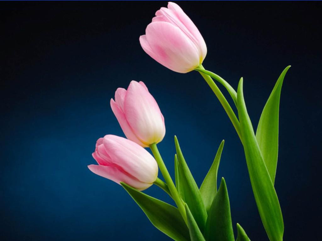 Online Tulips Flower Delivery from MyFlowerTree