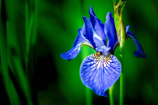 Blue iris Flower Bouquet Delivery in India