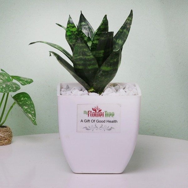 Air Purifying plant for anniversary gift