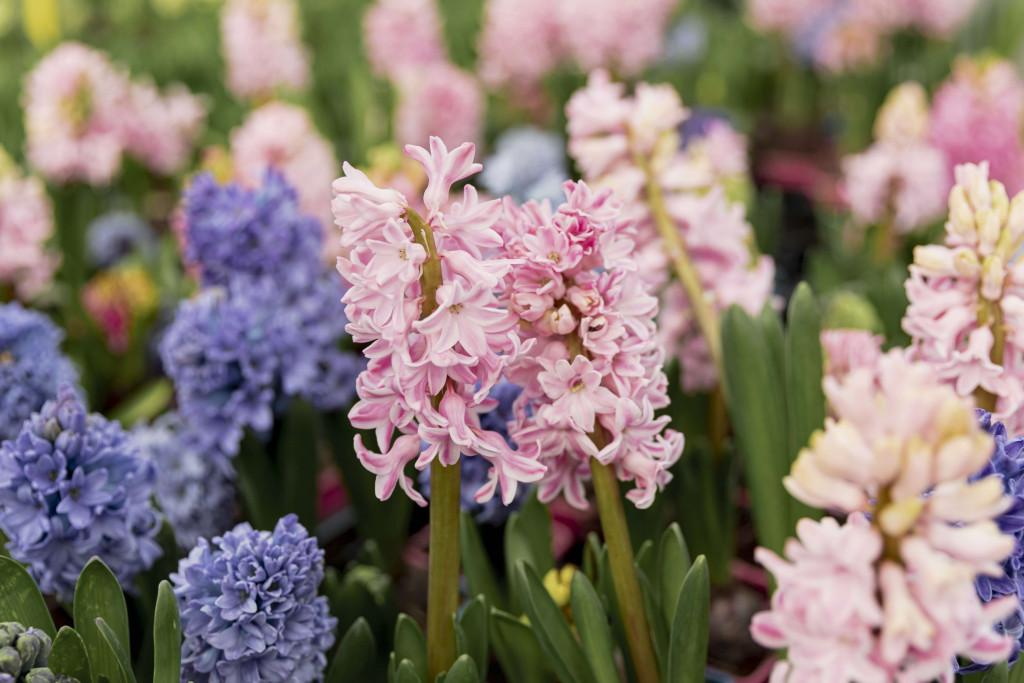 flower bouquet Hyacinth