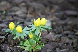 online flower delivery - Winter Aconite