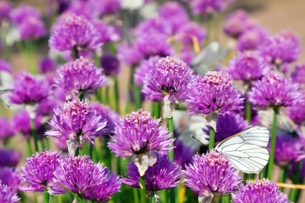 online flower delivery - Allium Flower