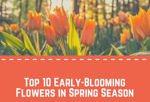 Top 10 Early-Blooming Flowers in Spring Season