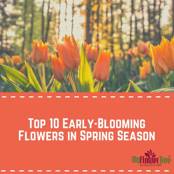 Top 10 Early-Blooming Flowers in Spring Season