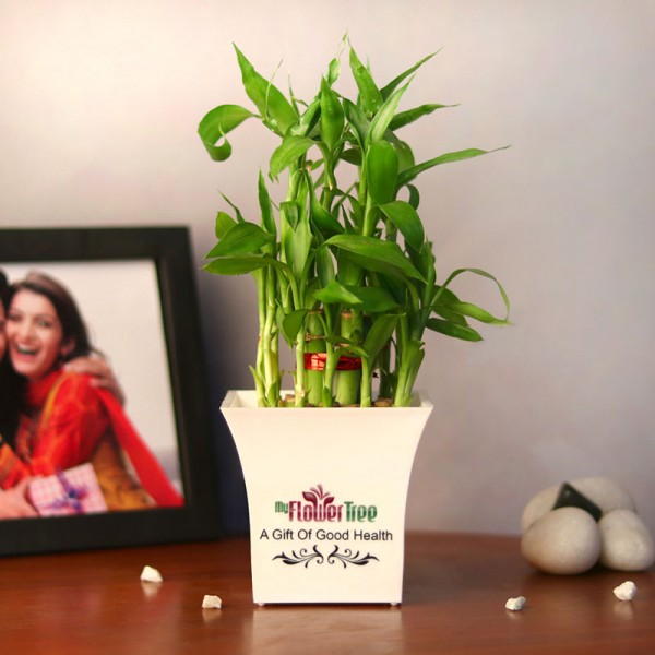 lucky bamboo plant for home