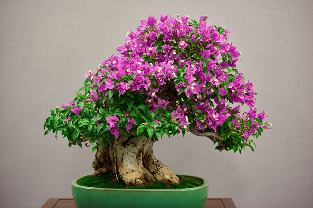 Present Bonsai Plants