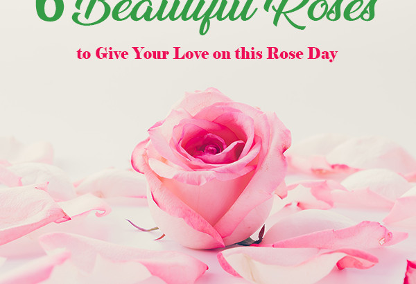 Beautiful Roses For Rose Day