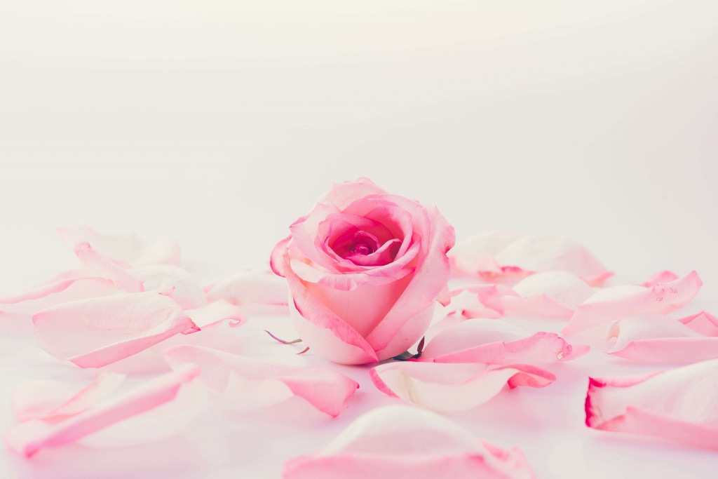 pink roses for rose day
