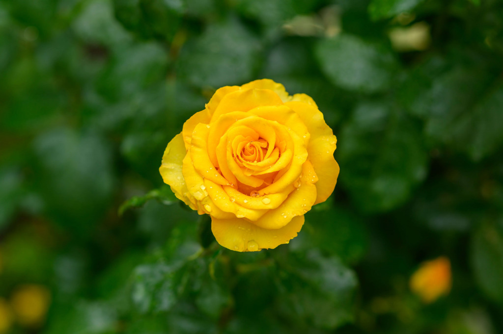 yellow rose for rose
