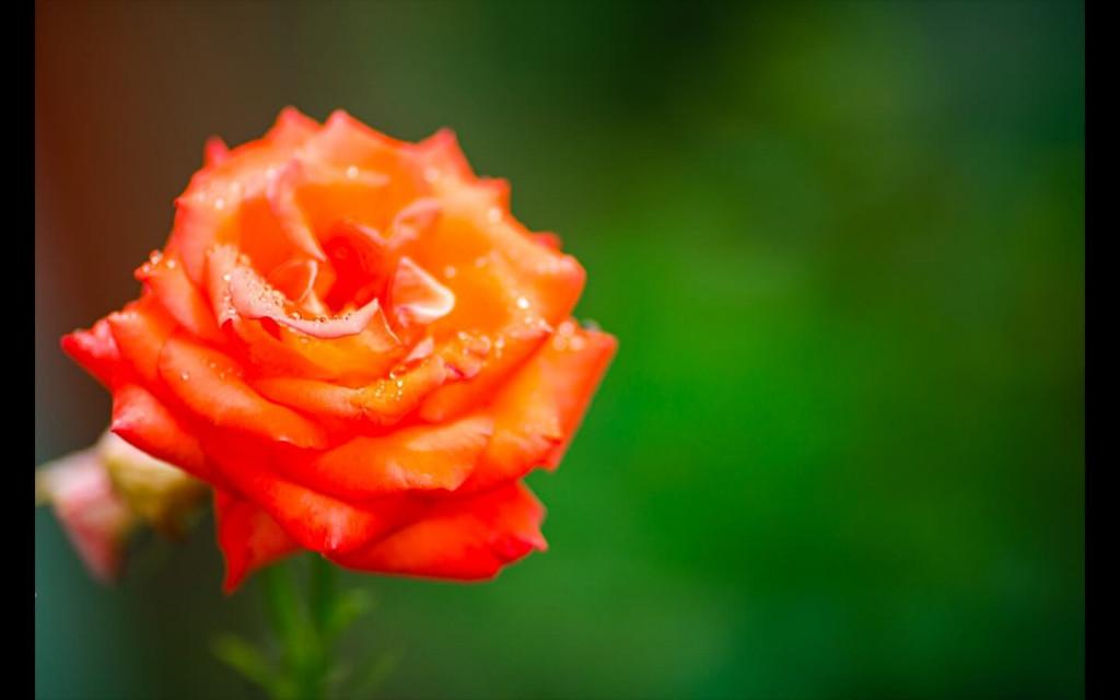 orange rose as rose day gift