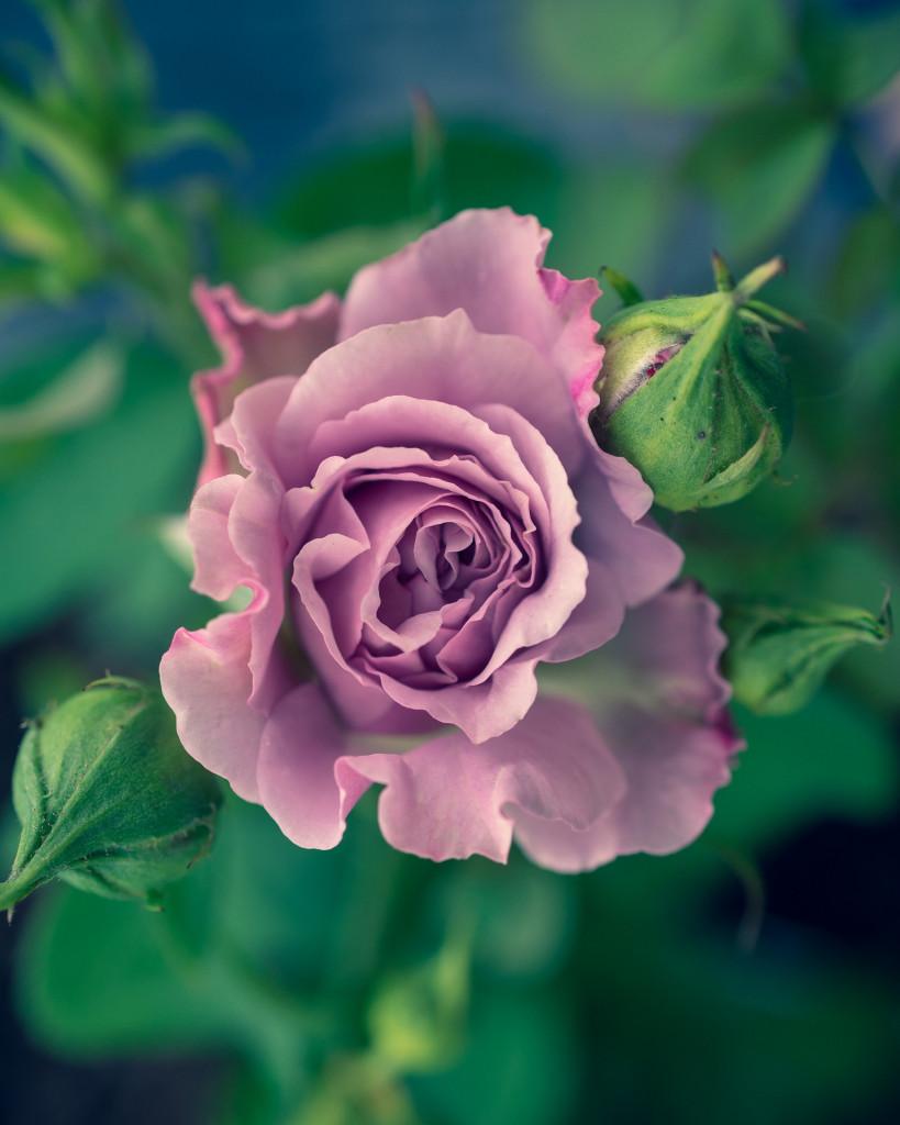 lavender rose for partner