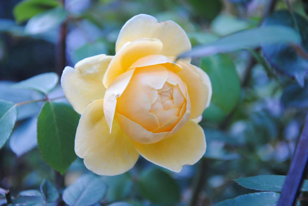 cream rose for rose day