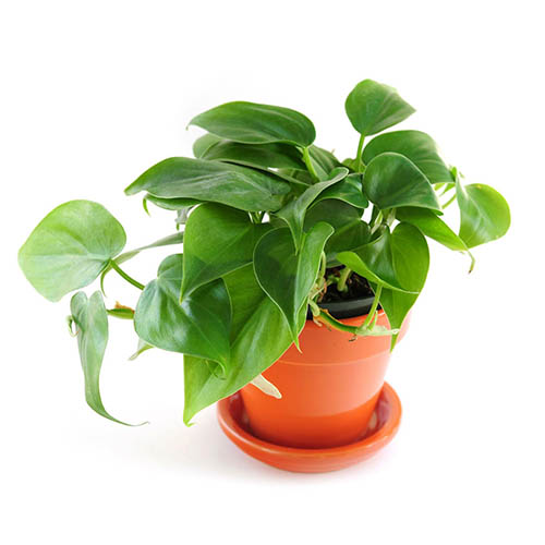 A green Indoor plant