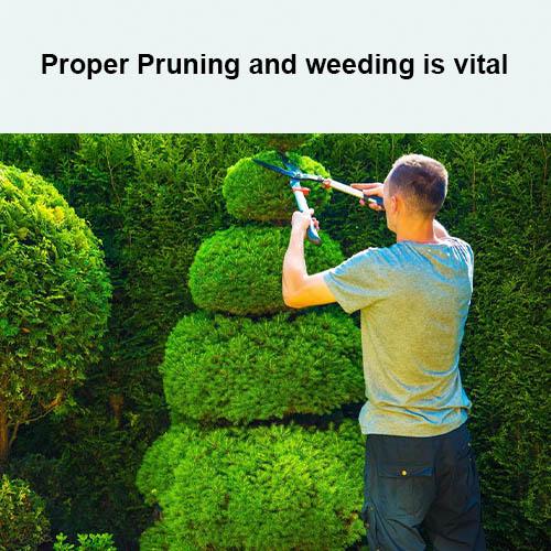 Proper Pruning and weeding is vital