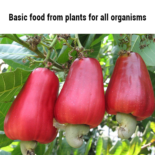 Basic food from plants for all organisms