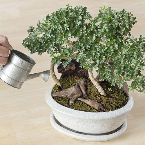 Water your bonsai plant!