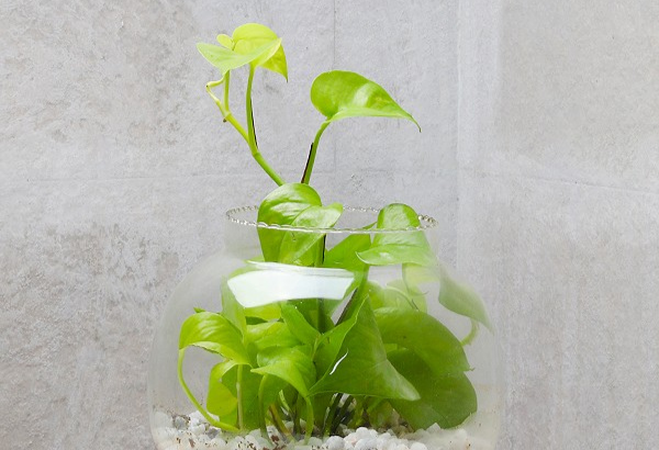 advantages of money plant