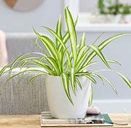 Anniversary Plants Online