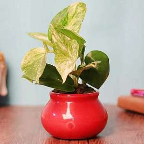 Valentine Air Purify Plant