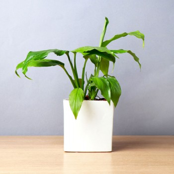 Lily Pot Of Peace