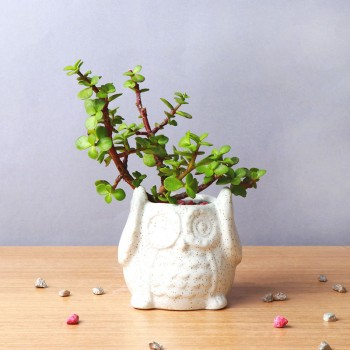 One Jade Plant in Owl Shape Pot