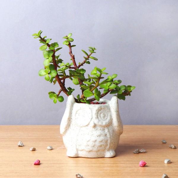 One Jade Plant in Owl Shape Pot