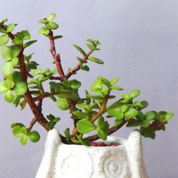 Indoor Jade Plant