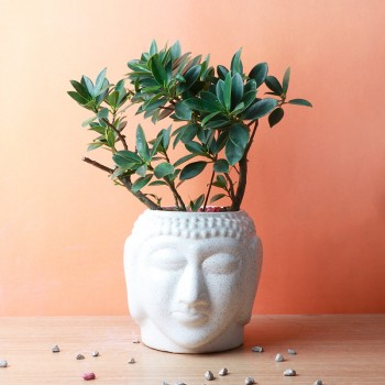 One Bonsai Plant in a Buddha Face Pot