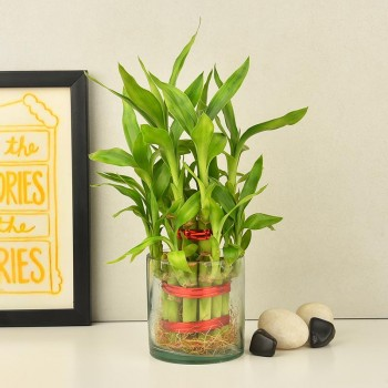 1 Two Layer Lucky Bamboo Plant