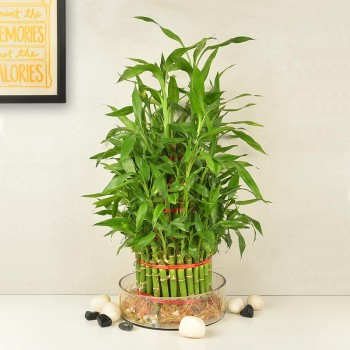 5 layer lucky bamboo in a glass vase