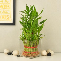 3 Layered Lucky Bamboo Trivia