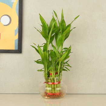 2 layer lucky bamboo in round glass vase