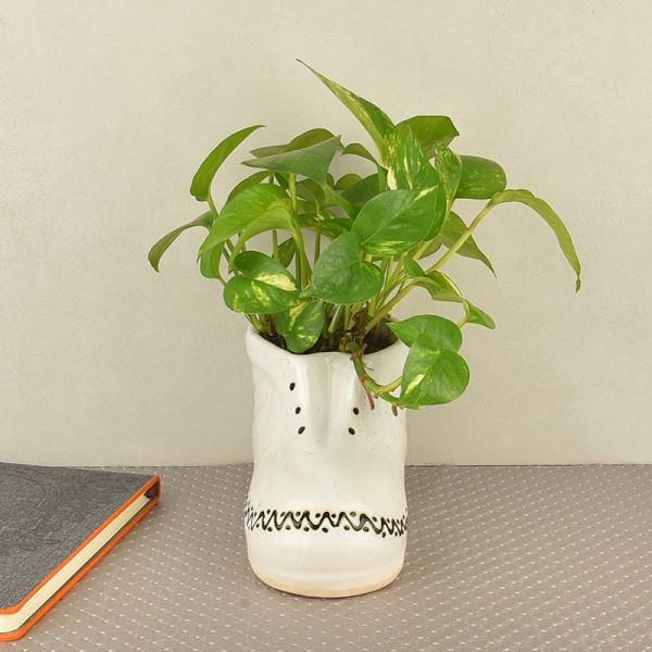 Money plant for Indoor
