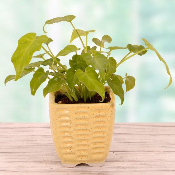 Wondrous Money Plant