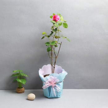 One Rose Plant and One Pot wrapped in paper