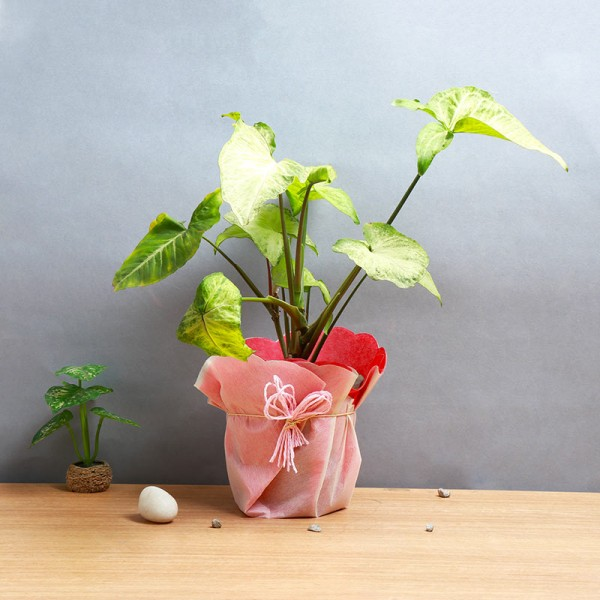 One Syngonium Plant and One Pot wrapped in paper