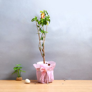 One Hibiscus Plant with One Pot wrapped in paper