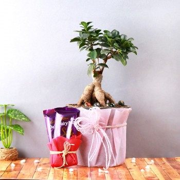 One Bonsai Plant - One Pot wrapped in paper - Height of the Pot : 5 inches - 2 Dairy Milk Silk Chocolates (60 gms Each)
