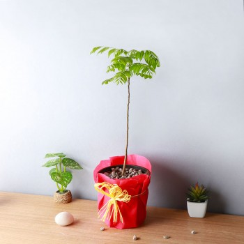 One Curry Leaf Plant and One Pot wrapped in a paper