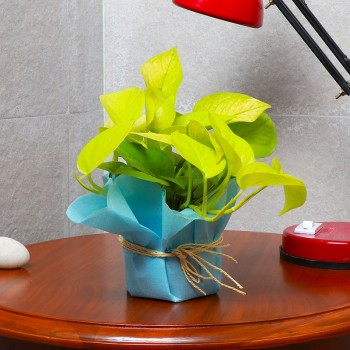 One Money Plant in a Pot Wrapped with Blue Tissue Paper