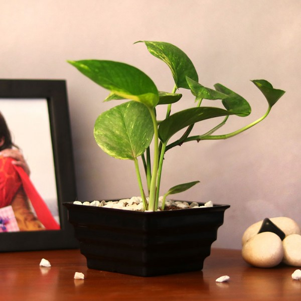 One Money Plant in Black Plastic Pot