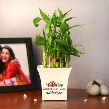 2 Layer Lucky Bambo Plant in White Plastic Pot