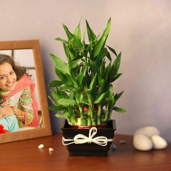 2 Layer Lucky Bambo Plant in Black Plastic Pot