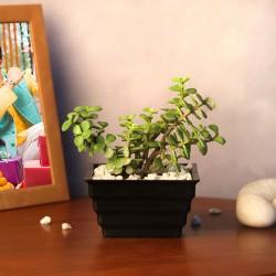Lucky Jade Plant