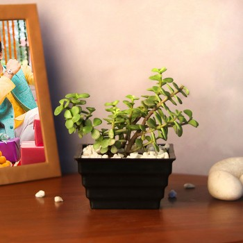One Jade Plant in Black Plastic Pot