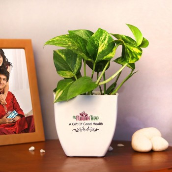 One Money Plant In White Plastic Pot