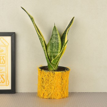 Sansevieria plant in a vase wrapped with yellow jute